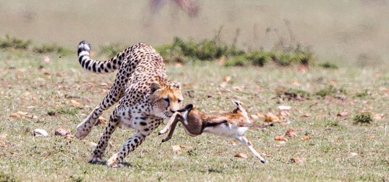 Cheetah hunting a gazelle